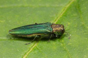 Agrilus planipennis / Emerald Ash Borer